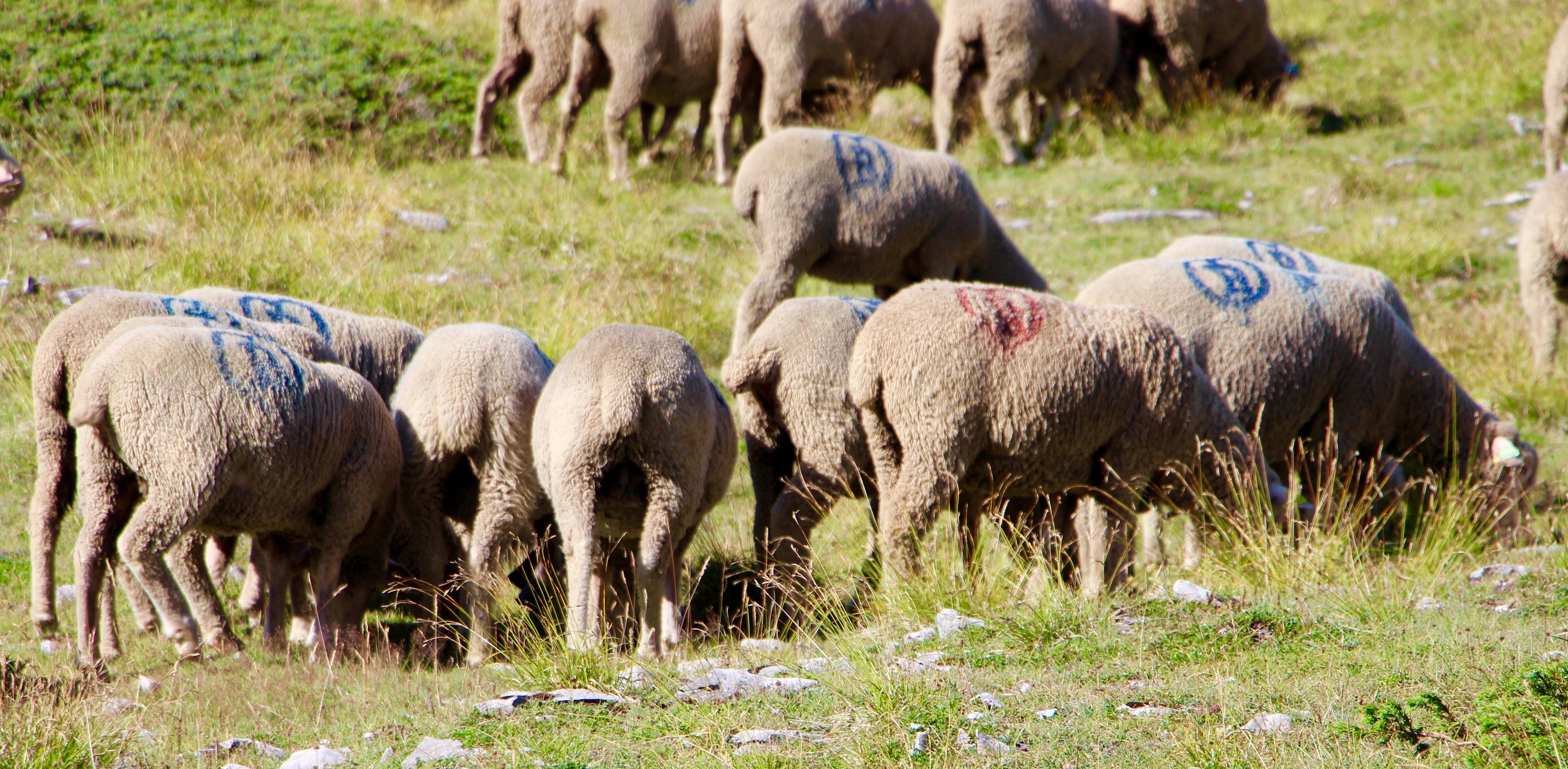 berger mouton